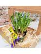 Grape hyacinth (Muscari) in...