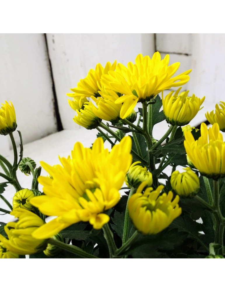 Yellow Daisies chrysanthemum
