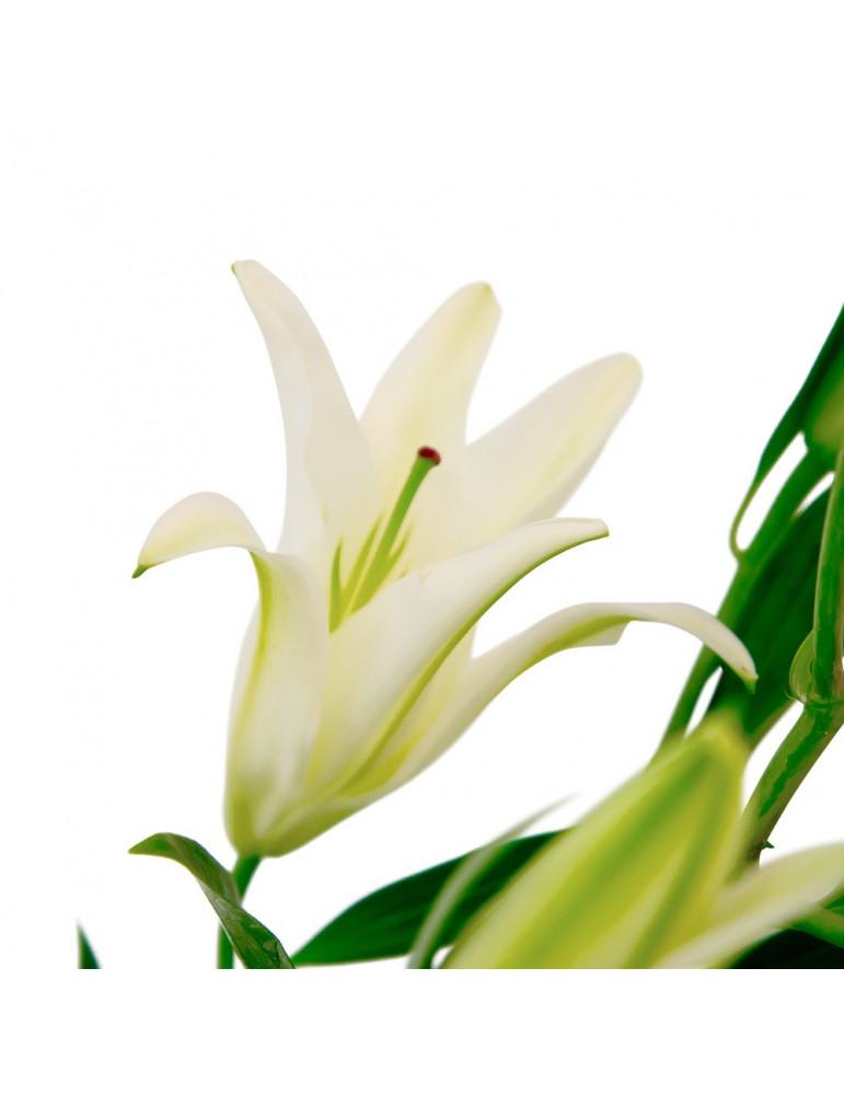 Baltas lilijas