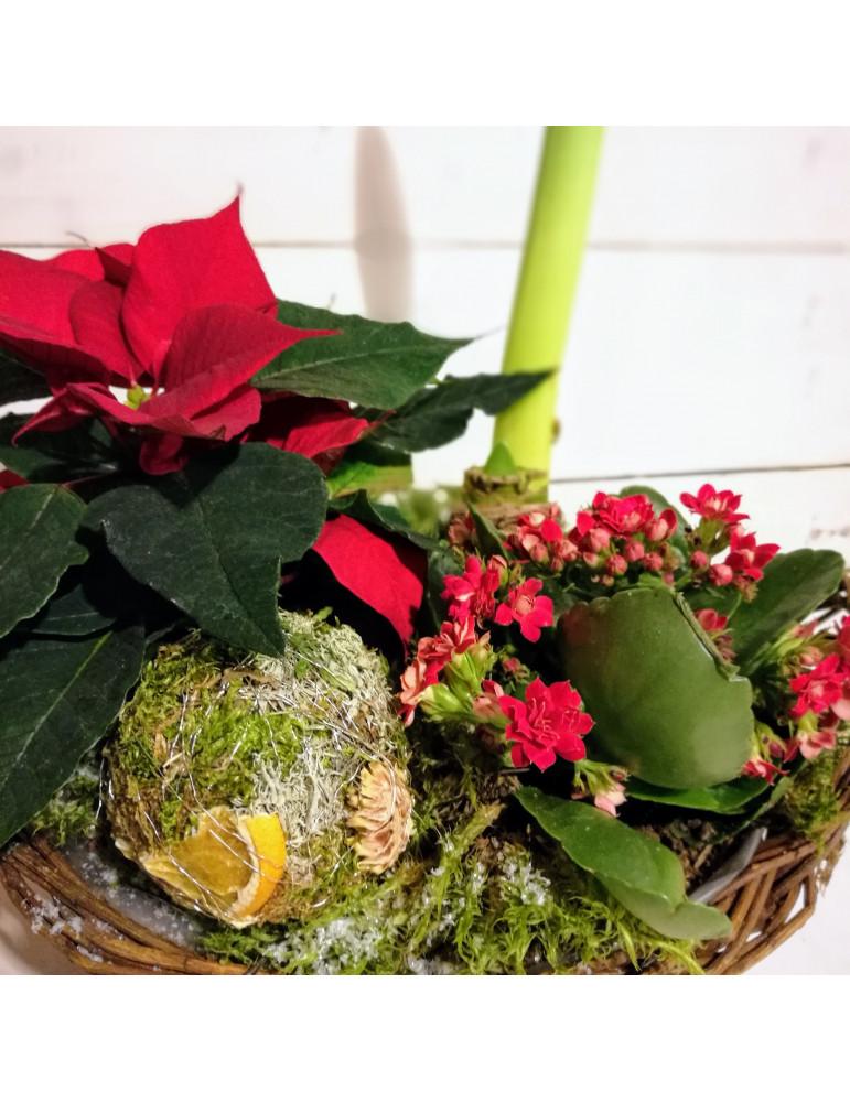 Ziemassvētku augu kompozīcija ar Amarilli